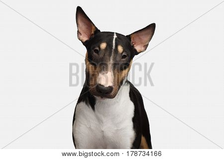 Portrait of Cute Bull Terrier Dog Looking in camera on isolated White background, front view