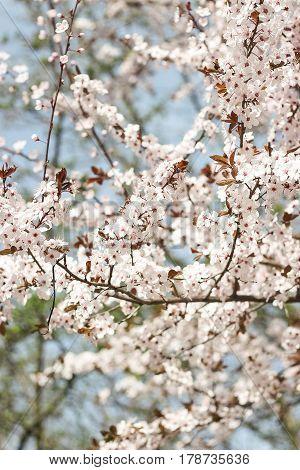 Flowering Trees. Blooming Garden. White Flowers. Warm Spring.