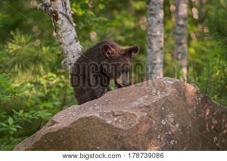 Black Bear (Ursus americanus) Cub Enjoys Berries Atop Rock - captive animal