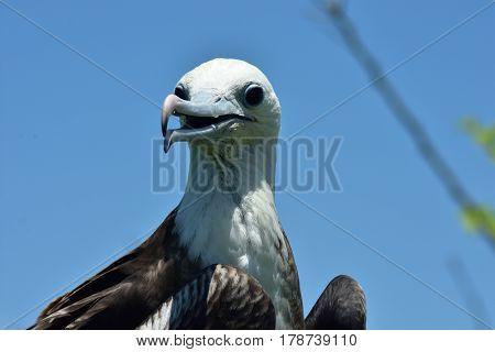 Frigatebird juvenile perched on a branch on Isla de la Plata Ecuador
