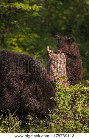 Adult Female Black Bear (Ursus americanus) and Cub Forage - captive animals