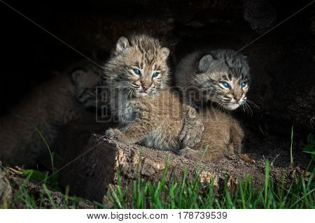 Bobcat Kittens (Lynx rufus) Look Out of Log - captive animals