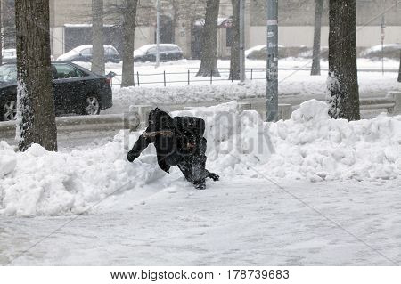 BRONX NEW YORK - MARCH 14: Young boy struggles after falling on snow. Taken March 14 2017 in New York.