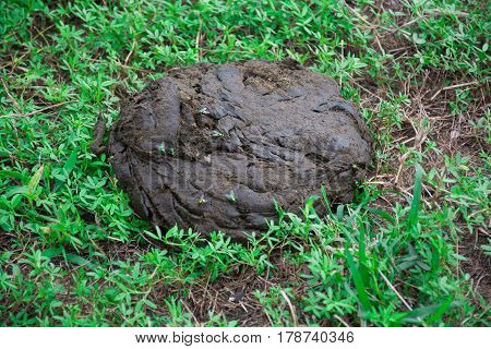 Cow dung pile up on the grass. The accumulation of germs