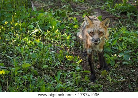 Red Fox Vixen (Vulpes vulpes) Trots Through Shade - captive animal