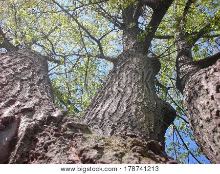Underneath the Triple Oak Tree in the Spring.