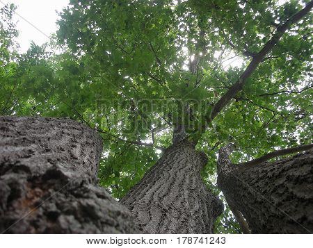 Underneath the Triple Oak Tree in the Summer.
