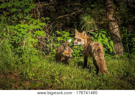 Red Fox Vixen (Vulpes vulpes) Looks Back with Kit - captive animals