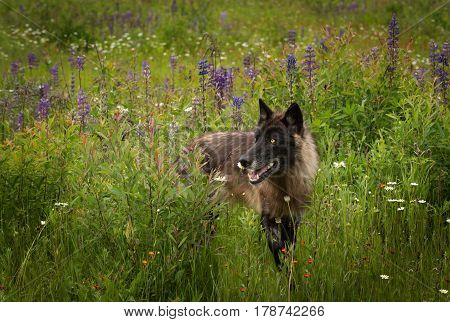 Black Phase Grey Wolf (Canis lupus) Looks Left in Lupin Field - captive animal