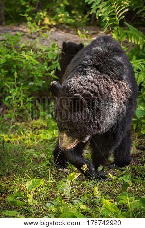 Adult Female Black Bear (Ursus americanus) Turns - captive animal