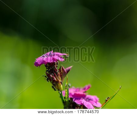 Flowers of pink decorative carnations and ants gathering nectar