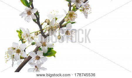 Blooming cherry branch on white background, close up