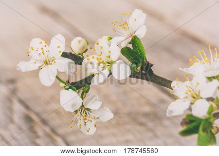 Blooming cherry branch on wooden background, close up