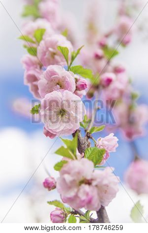 A beautiful spring blossom of an ornamental tree against a blue sky