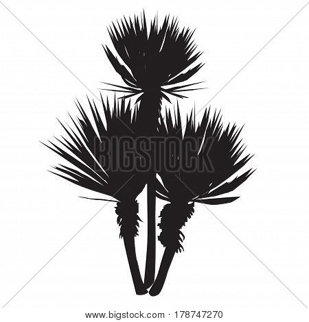 Silhouette of a large plant of a yucca (Yucca filamentosa) with three stalks