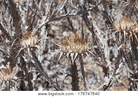 a bush of dry scotch thistle, closeup
