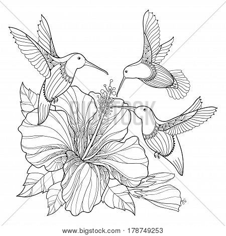 Vector flying Hummingbird or Colibri and ornate Hibiscus in contour style isolated on white background. Outline bird with exotic tropical flower for summer design and adult coloring book.