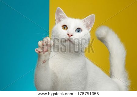 Portrait of Pure White Cat with odd eyes raising paw on bright Blue and Yellow Background, front view