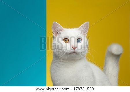 Portrait of Surprise White Cat with odd eyes on bright Blue and Yellow Background, front view