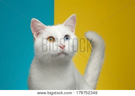 Portrait of Pure White Cat with odd eyes and tail looking up on bright Blue and Yellow Background, front view