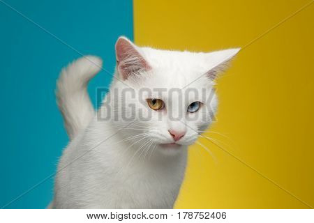Portrait of offended Pure White Cat with odd eyes and tail on bright Blue and Yellow Background, front view