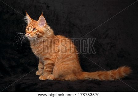 Adorable Red Solid Maine Coon Kitten Profile Sitting With Long Tail On Black Background