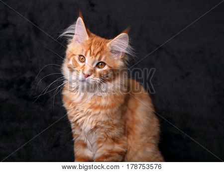 Adorable Calm Red Solid Maine Coon Kitten With Beautiful Brushes On The Ears And Yellow Eyes On Blac