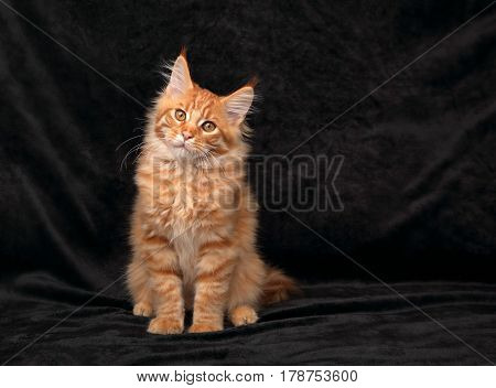 Adorable Fun Serious Red Solid Maine Coon Kitten Sitting With Beautiful Brushes On The Ears On Black