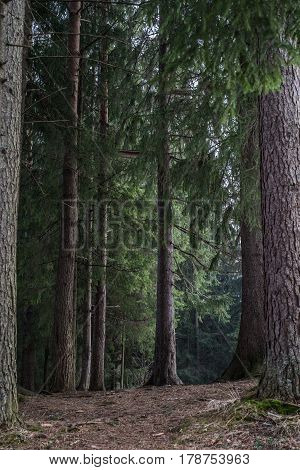Nature pine forest with trail road in winter. Scandinavian forest in evening light. Nordic tree forest background. Travel concept.