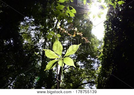 Sunrays falling in a big size green leaf with a forest background and blue sky.