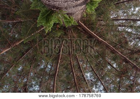 Norfolk Pine photographed from the base of the tree.