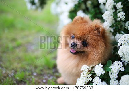 Beautiful dog. Pomeranian dog near blossoming white bush. Pomeranian dog in a park. Adorable dog. Happy dog