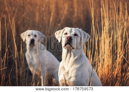 Two cute labrador retriever dogs sit in front of a cornfield in the sunlight