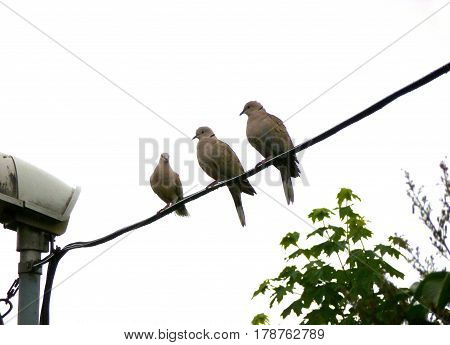 Photo of three Eurasian collared doves sitting on a wire