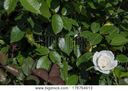 White rose flower in the foreground among green leaves