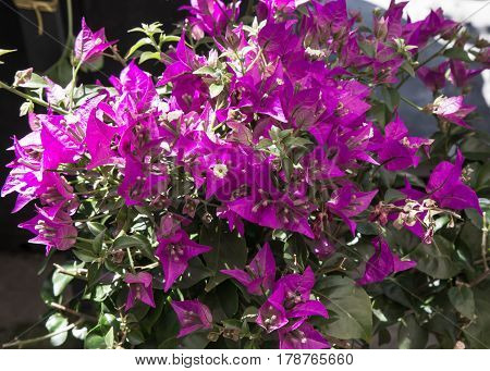 Bougainvillea purple close up view from the left