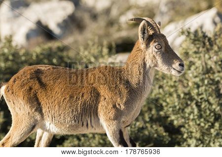 Ibex goat in rocky mountain in Torcal Antequera Malaga
