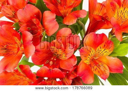 Background close up of red-orange alstroemeria flowers and leaves. AKA Peruvian lily