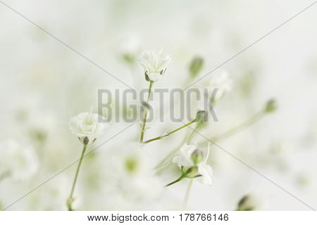 Several in focus Baby's Breath flowers selectively in focus with remainder blurred.