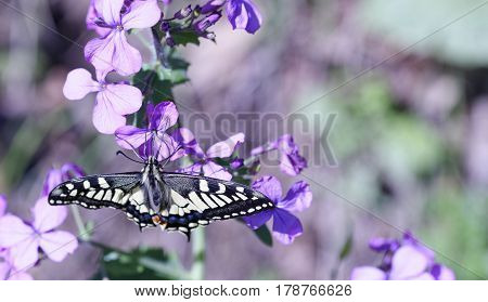 detail of Old World Swallowtail. Papilio Machaon in a meadow