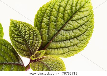 Close up of variegated green and burgundy red plechanthus leaves