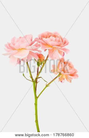 Stem of pastel pink double garden carpet roses with white background.