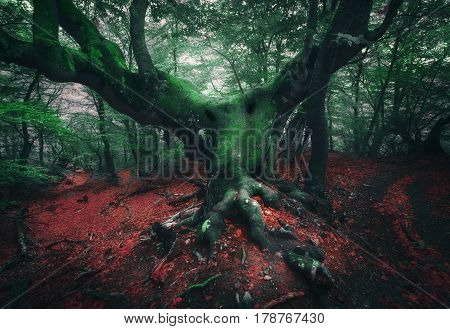 Spooky tree. Mystical dark forest in fog with old tree with big roots covered moss, colorful red and green foliage at twilight in spring. Horror atmosphere. Fairytale landscape. Darkness. Magic woods