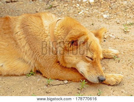 Tibetan dog in sleeping or relaxing in the morning hours