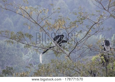Black And White Colobus Monkeys In Tree