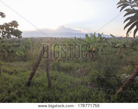 Banana trees in field of rural Uganda Africa at daybreak.