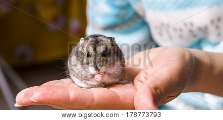 Grey dwarf hamster Gray Hamster macro stands hairy fur stands