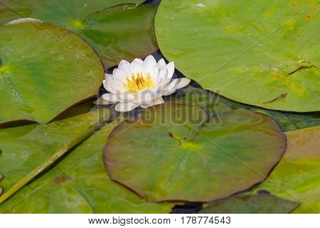 White water lily on a pond. Flower