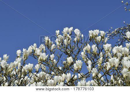 Magnolia 'Columbus' (Magnolia denudata x Magnolia veitchii)