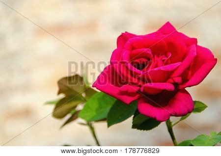 Single Red Rose Flower Perfumated